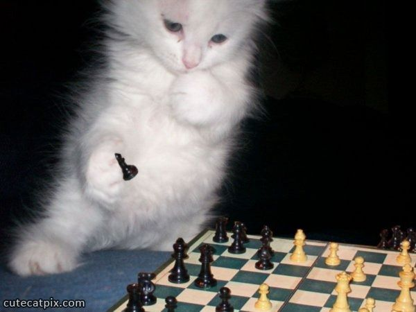 chess cat