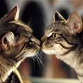 kissing Cats | Cute Cat Pictures
